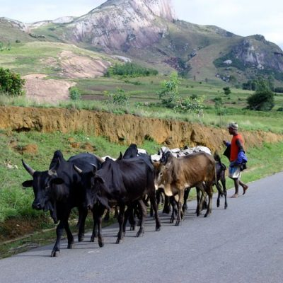 L'élevage de bovin du Betsileo